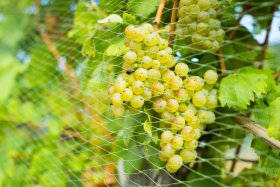 Siatka ochronna na winogrono