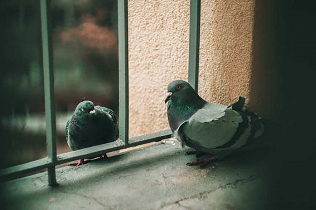 Jak pozbyć się gołębi z balkonu