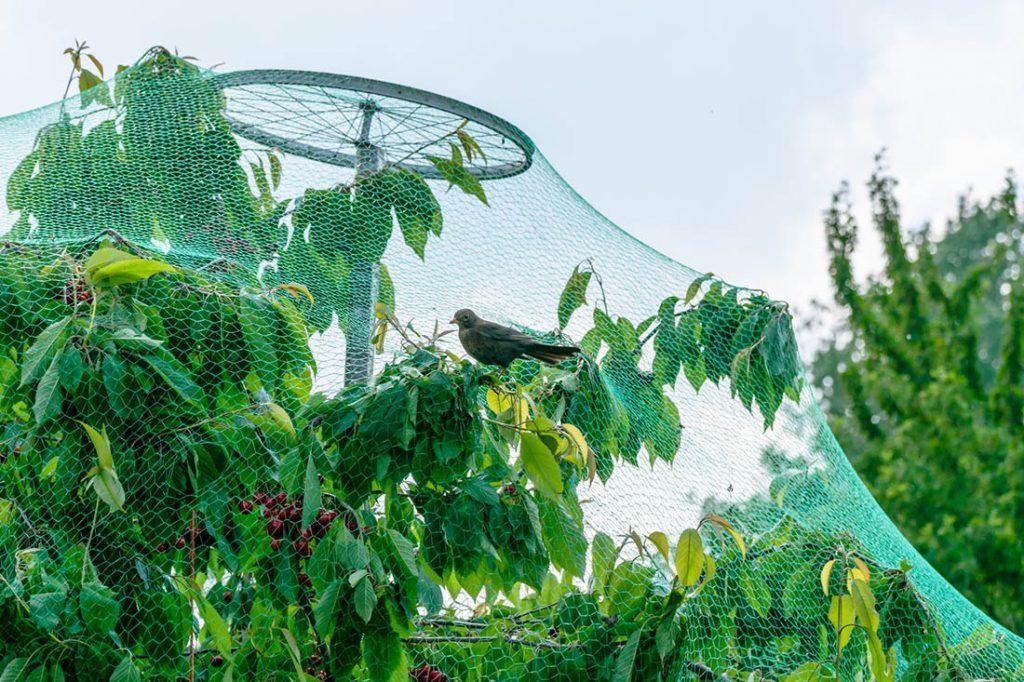 Siatka przeciw ptakom na czereśnie