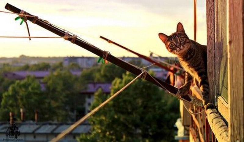 Pręgowany kot wychyla się przeznieosiatkowany balkon, znajdujący nadużej wysokości - wtle widać budynki mieszkalne, głównie bloki orazwysokie drzewa.