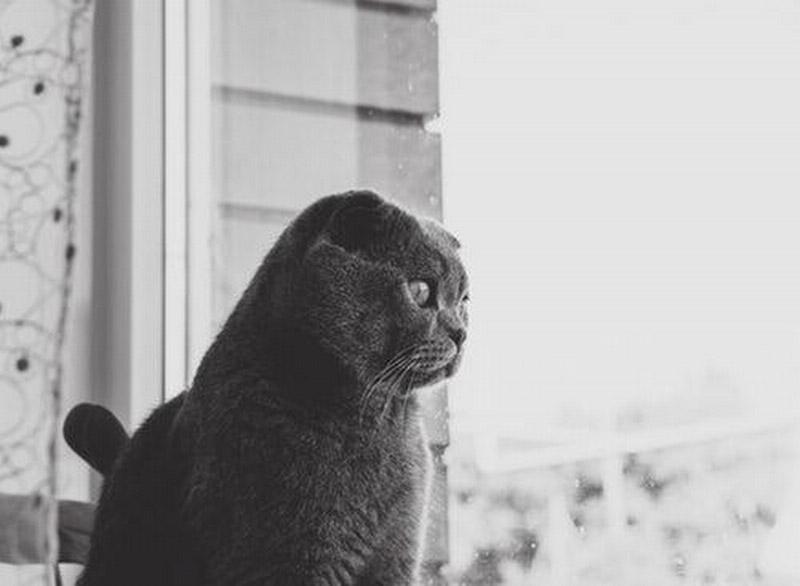 Czarno-białe zdjęcie przedstawiające kota rasy brytyjskiej, wpatrującego się przezszybę okna.