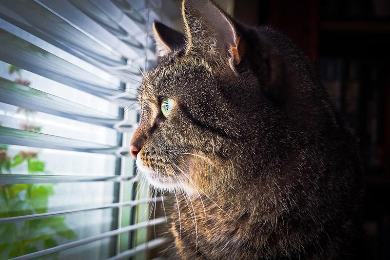 Szaro-brązowy kot pręgowany zżółtymi oczami, siedzący wmieszkaniu, wpatruje się wdal przezokno przysłonięte otwartymi roletami.
