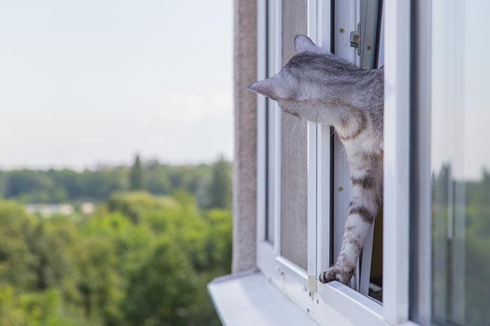 Pręgowany kot wychylający się przezuchylone, niezabezpieczone okno.
