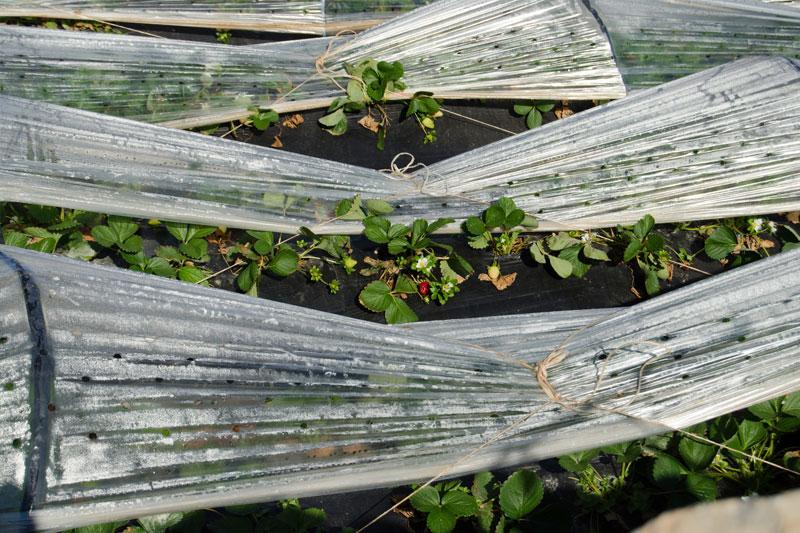 Widok natunel foliowy pokryty folią idodatkowo siatką cieniującą ogrodową, wktórymrosną rośliny.