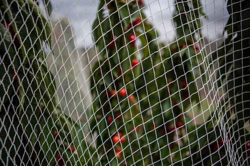 Siatka nadrzewa chroniąca plantację czereśni.