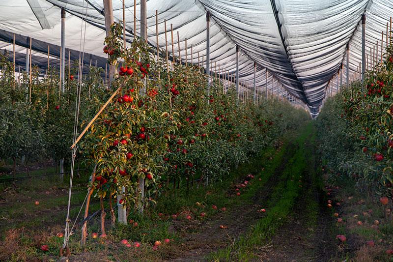 Sad jabłkowy zabezpieczony siatką przeciw ptakom.