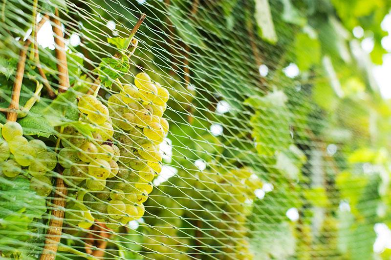 Zielona siatka dosadu osłaniająca plantację winogron.