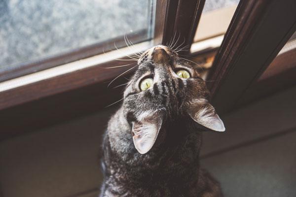 Szary, pręgowany kot siedzi przy otwartym oknie, wpatrując się wszybę.