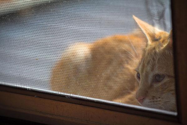 Rudy kot siedzi wdrzwiach balkonowych osłoniętych siatką dla kota nastelażu.