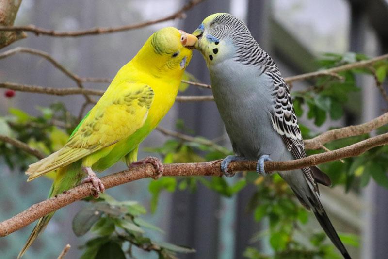 Całujące się dwie papużki faliste