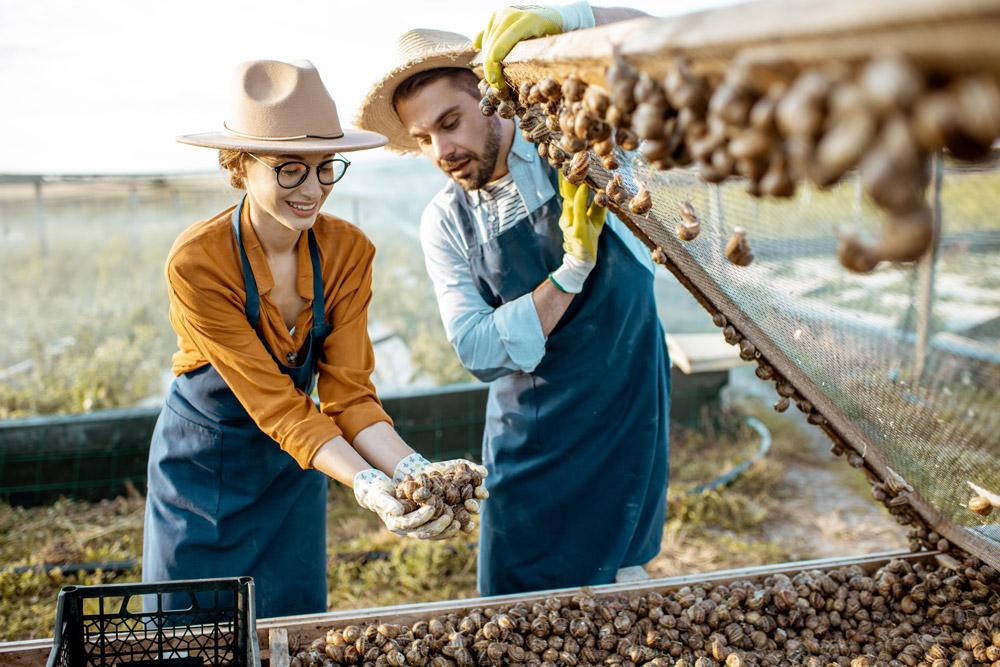 Hodowla ślimaków – pracownicy otwierają paśnik i wyjmują ślimaki na sprzedaż