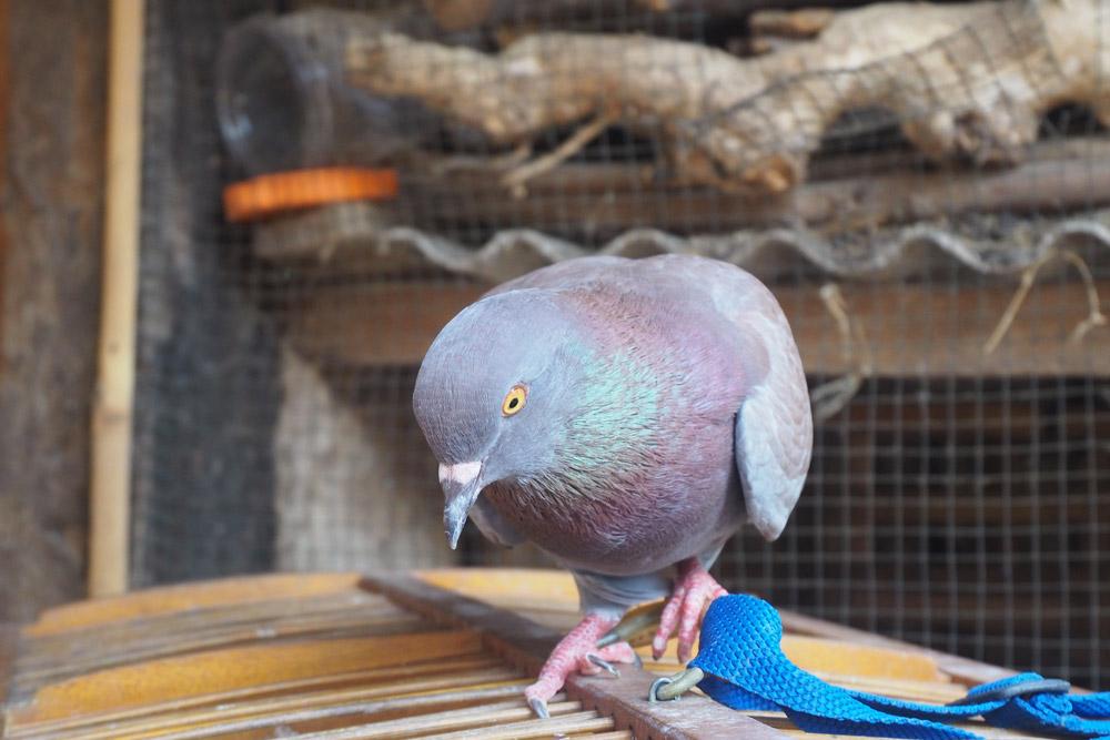 Gołąb pocztowy w gołębniku