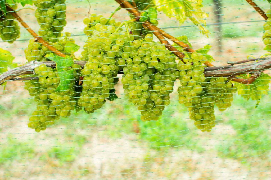 Siatka na winogrona